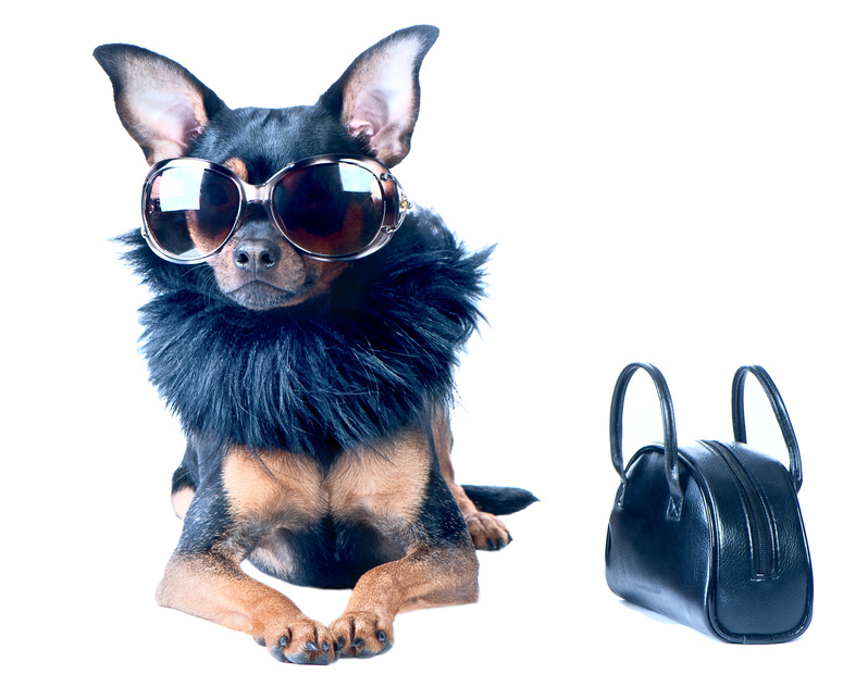 Stylish, chic dog Toy Terrier, Chihuahua.